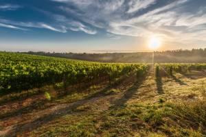 tuscany-grape-field-nature-51947